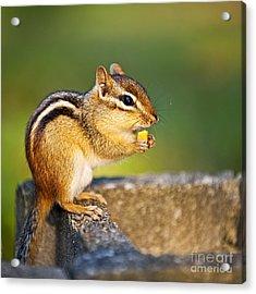 Wild Chipmunk  Acrylic Print