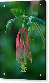 Acrylic Print featuring the photograph Wild Columbine Flower by Daniel Reed