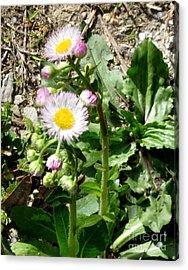 Wild Daisy Acrylic Print by The Kepharts