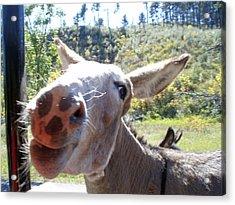 Wild Donkey Acrylic Print