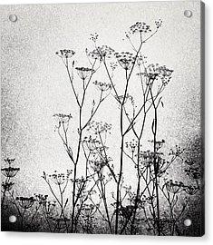 Wild Fennel #fennel Acrylic Print by Denise Taylor