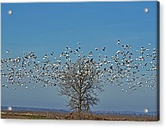 Wild Geese IIi Acrylic Print by Debbie Portwood