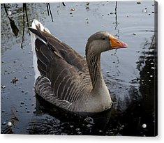 Acrylic Print featuring the photograph Wild Greylag Goose by Lynn Palmer