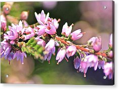 Wild Heather Acrylic Print by Karen Grist