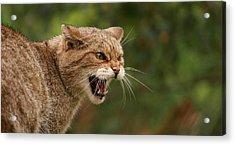Wild Highland Cat Acrylic Print by Jacqui Collett