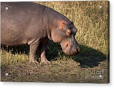 Acrylic Print featuring the photograph Wild Hippopotamus by Karen Lee Ensley