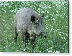 Wild Hog Between Flowers Acrylic Print by Ulrich Kunst And Bettina Scheidulin