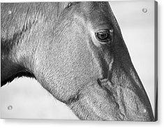 Wild Horse Intimate Acrylic Print