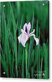Acrylic Print featuring the photograph Wild Iris by Doug Herr