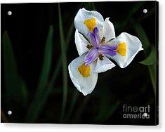 Wild Iris Acrylic Print by Kaye Menner