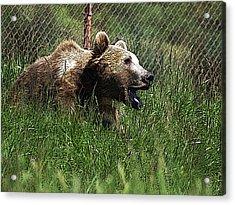 Wild Life Safari Bear Acrylic Print