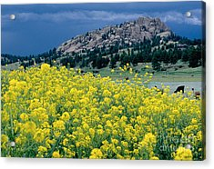 Wild Mustard Acrylic Print by James Steinberg and Photo Researchers