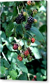 Acrylic Print featuring the photograph Wild Oregon Blackberries by Jo Sheehan