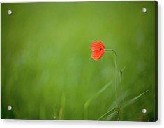 Wild Poppy Acrylic Print by Peter Chadwick LRPS