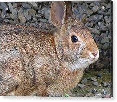 Wild Rabbit Acrylic Print