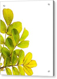 Wild Rose Leaves Macro Postcard Acrylic Print