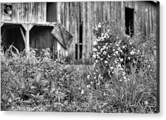 Wild Roses Bw Acrylic Print by JC Findley
