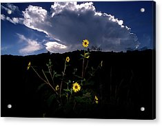 Wild Sunflower With Clouds Acrylic Print