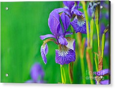 Wild Thing Acrylic Print by Beve Brown-Clark Photography