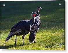 Wild Turkeys Acrylic Print