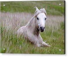 Wild Welsh Pony Acrylic Print by Steve Hyde