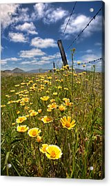 Wildflowers And Barbed Wire Acrylic Print by Peter Tellone