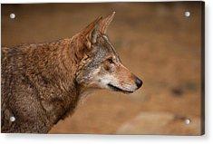 Wile E Coyote Acrylic Print by Karol Livote
