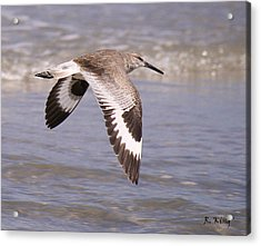 Willet In Flight Acrylic Print by Roena King