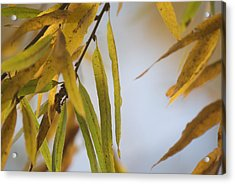 Willow Fall Leaves Acrylic Print