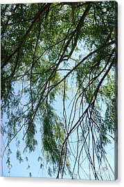 Wind In The Willow Acrylic Print by Alys Caviness-Gober
