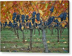 Wine Grapes - Oregon - Willamette Valley Acrylic Print by Jeff Burgess
