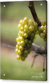 Wine Grapes Acrylic Print by Leslie Leda