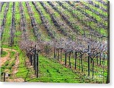 Winery Vineyard Acrylic Print by Kelly Wade
