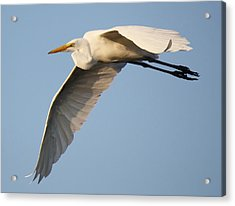 Wing Down Acrylic Print by Paulette Thomas