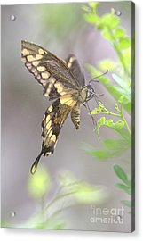 Acrylic Print featuring the photograph Winged Ballet by Anne Rodkin