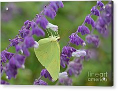 Wings Of Yellow Acrylic Print by Kathy Gibbons