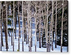 Winter Aspens Acrylic Print by Colleen Coccia