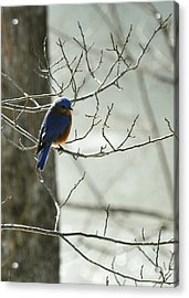 Winter Bluebird Acrylic Print by Rebecca Sherman