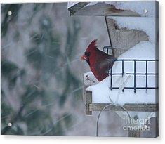 Winter Cardinal Acrylic Print by Ronald Tseng
