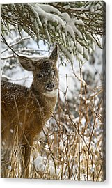 Winter Dining For A Black-tailed Deer Acrylic Print by Tim Grams