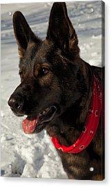 Winter Dog Acrylic Print by Karol Livote