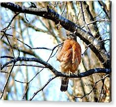 Winter Hawk Acrylic Print by Nava Thompson