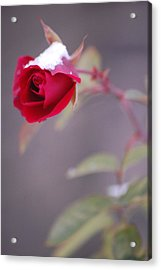 Winter Rose Acrylic Print by Dickon Thompson
