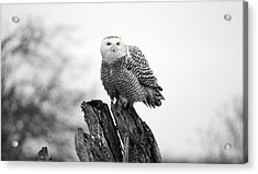 Winter Snowy Owls Acrylic Print by Pierre Leclerc Photography