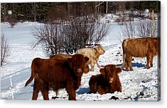 Winter Steer  Acrylic Print by The Kepharts