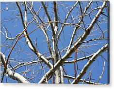Winter's Branches Acrylic Print by Naomi Berhane