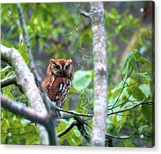 Wise Young Owl Acrylic Print by Ralph Jones