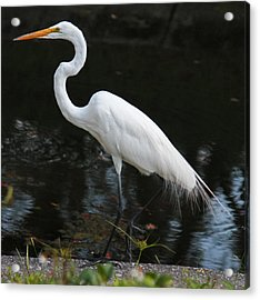 Wispy Feathers Of A White Heron Acrylic Print by Becky Lodes