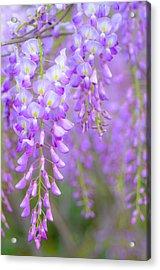 Wisteria Flowers In Bloom Acrylic Print by Natalia Ganelin