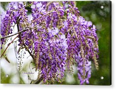 Acrylic Print featuring the photograph Wisteria by Joan Bertucci